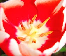 Free Red Tulip Royalty Free Stock Image - 33566806