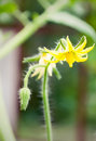 Free Tomato Flowers On The Stem Royalty Free Stock Images - 33579069