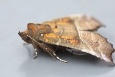 Free Butterfly &x28;Scoliopteryx Libatrix&x29; Stock Photos - 33578103