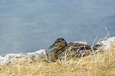 Free Wild Duck In A Grass Royalty Free Stock Photo - 33578985