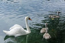 Free Family Of Swans Floating In A Lake Stock Photography - 33579182