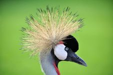 Free Crowned Crane Stock Photo - 33579320