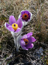 Free Crocus In The Grass Stock Photography - 3361732