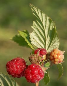 Raspberries Ship Royalty Free Stock Photography