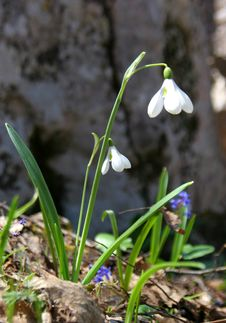 First Snowdrop Royalty Free Stock Images