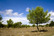 Free Sicilian Landscape, The Pines Royalty Free Stock Photos - 3362528