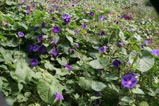 Purple Flower Vines Stock Images