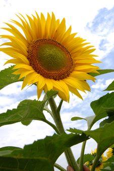 Free Sunflower Royalty Free Stock Photo - 3362645