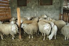 Free Sheeps Together 2 Royalty Free Stock Photos - 3362808