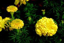 Free Chrysanthemum Royalty Free Stock Photography - 3362847