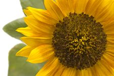 Free Close Up Of Sunflower Royalty Free Stock Photography - 3362927