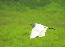 Free Egret Flying Stock Images - 3363364