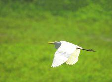 Free Egret Flying Stock Images - 3363364