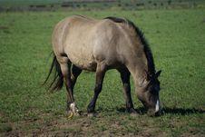 Free Grey Horse Royalty Free Stock Image - 3363656