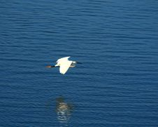 Egret Flying Royalty Free Stock Photography
