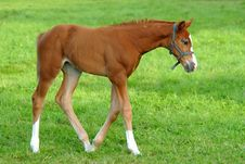 Free Foal Walking On Grass Royalty Free Stock Photography - 3363897