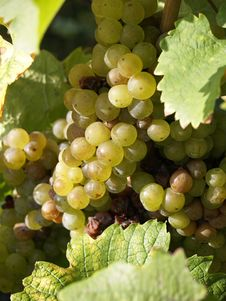 Free White Grapes Royalty Free Stock Photography - 3364117