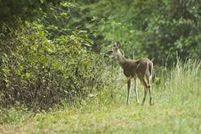 Free Young Deer Royalty Free Stock Images - 3364649