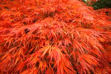 Free Japanese Fire Bush Background Stock Photography - 3365442