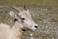 Free Rocky Mountain Sheep Royalty Free Stock Photos - 3366428