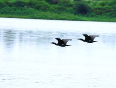 Free Wild Ducks Flying On River Stock Photography - 3366852