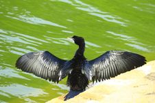 Black Duck On Perch Stock Photo