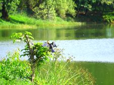 Free Black Heron On Perch Stock Images - 3367344