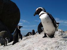 Free Boulderś Penguins. Stock Photos - 3368193