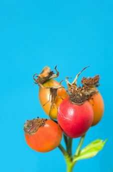 Free Rose Hips Stock Images - 3368724
