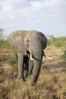 Free Elephant In The Kruger Stock Images - 3368844