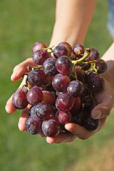 Red Grapes In The Woman´s Hand. Stock Photo