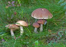 Free Wild Mushrooms Royalty Free Stock Images - 33609979