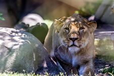 Free A Beautiful Female African Lioness Royalty Free Stock Photos - 33610028