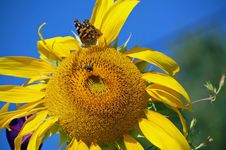 Free Painted Lady On Sunflower Blossom Stock Photo - 33618980