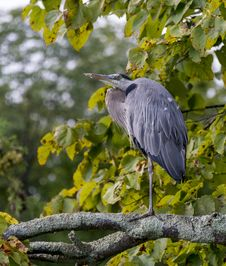 Free Old Heron Resting Stock Photo - 33648060