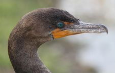 Free Close-up Head Shot Of A Double-crested Cormorant Stock Images - 33655454
