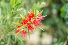 Free Bottle Brush Flower Stock Photo - 33656220