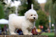 Free Bichon Frise Puppy Royalty Free Stock Photo - 33695825