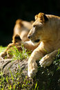 Free Lion Royalty Free Stock Photo - 3371825
