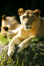 Free Lion Royalty Free Stock Photography - 3371857