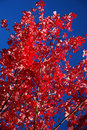 Free Maple Leaves Royalty Free Stock Photo - 3372005