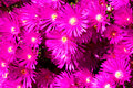 Free Bunch Of Pink Wild Flowers Stock Image - 3373271