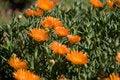 Free Orange Flower Orange Vygie Stock Photo - 3373350