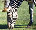 Free Grazing Zebra Royalty Free Stock Photography - 3374787