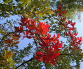 Free Red Leaves In Autumn Royalty Free Stock Images - 3377509