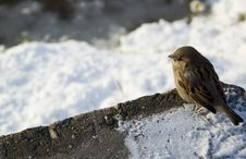 Just Winter Sparrow