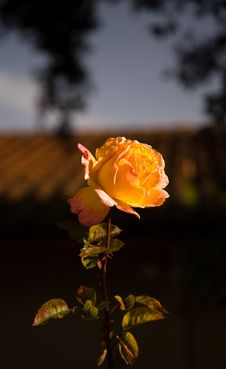 Free Yellow Pink Rose Stock Photos - 3371313