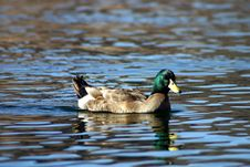 Free Mallard Duck Stock Photo - 3371460
