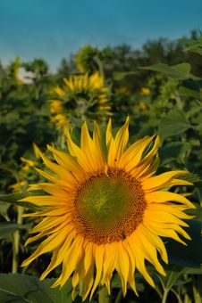 Free Dominant Sunflower Royalty Free Stock Photography - 3371467