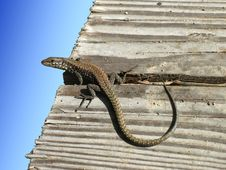 Free Lizard 2 Royalty Free Stock Photography - 3371597